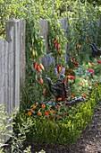 Tomaten 'Striped Roman' (Lycopersicon) am Zaun, Hecke aus Buxus
