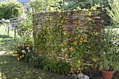 Selbstgemachter Sichtschutz aus Weide, bepflanzt mit Thunbergia alata