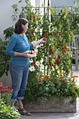 Frau pflückt Tomate 'Himmelsstuermer' (Lycopersicon)