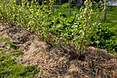 Reihe mit Sträuchern von Schwarzen Johannisbeeren (Ribes nigrum) mit Stroh gemulcht