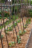 Stangenbohnen Jungpflanzen (Phaseolus) an Klettergerüst aus Bohnenstangen, mit Stroh gemulcht, Beet mit Brettern eingefasst