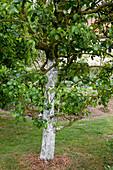Kalkanstrich an Birnbaum (Pyrus communis) schützt den Stamm vor Frostrissen und Schädlingen