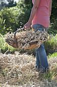 Frau trägt Spankorb mit frisch geschnittenen Weizen - Ähren