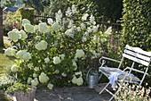 Weisses Beet mit Hydrangea paniculata 'Limelight' 'Kyushu'
