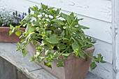 Neuseeländer Spinat (Tetragonia tetragonioides)
