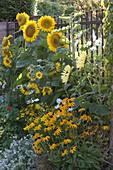 Helianthus annuus 'Sunrich Gold' 'Garden Statement' (Sonnenblumen)