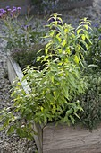 Zitronenverbene, Verveine (Aloysia triphylla) in Beet mit Holzeinfassung