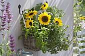 Korbkasten mit Helianthus (Sonnenblumen), Minze (Mentha