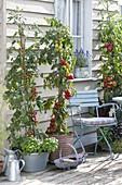 Tomaten (Lycopersicon) im Kübel , unterpflanzt mit Basilikum