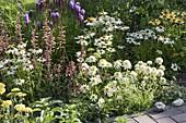 Agastache 'Summer Glow' (Duftnessel), Echinacea purpurea 'Meringue'