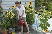 Sonnenblumenbalkon : Helianthus 'Garden Statement' 'Sonja'