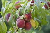 Pfirsich 'Kernechter vom Vorgebirge' (Prunus persica)