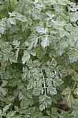 Echter Mehltau (Erysiphe) auf Kerbel (Anthriscus cerefolium)