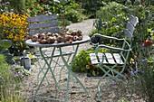 Zwiebeln (Allium cepa) zum trocknen auf dem Holztisch ausgebreitet