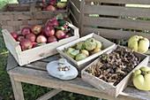 Herbsternte: Äpfel (Malus), Haselnüsse (Corylus), Birnen, Nashi