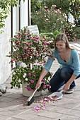 Frau kehrt abgeschuettelte Blüten von Fuchsia (Fuchsie) zusammen