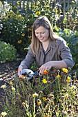 Frau erntet Samen von Calendula (Ringelblumen)