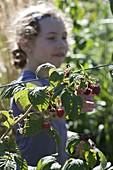 Mädchen pflückt Himbeeren (Rubus)