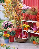 Terrassenarrangement mit Chrysanthemum vor schwedenroter Holzwand