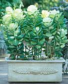 Brassica oleracea (Zierkohl) im Kasten