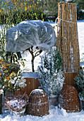Gehölze mit Ballenschutz im Freien überwintern: Rhododendron, Pyracantha, Rose,