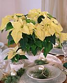 Euphorbia pulcherrima 'Lemon Snow' (Weihnachtssterne)