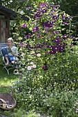 Clematis viticella 'Etoile Violette' (Waldrebe) neben Rosa (Rose), Geranium