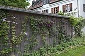 Bretterwand von Gartenhaus bewachsen mit Clematis (Waldrebe)