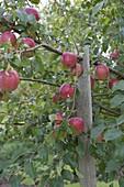 Apfelbaum (Malus), Äste mit schwerem Fruchtbehang mit Latte abgestützt
