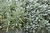Zwei verschiedene Sorten Salbei (Salvia officinalis) nebeneinander