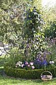 Schwarze Kletterbohne 'Blauhilde' (Phaseolus) an Rankgerüst in Rundbeet
