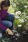 Rosen im Sommer und Spätsommer mit Patent-Kali düngen