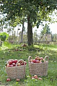 Körbe mit frisch geernteten Äpfeln 'Geflammter Kardinal' (Malus)