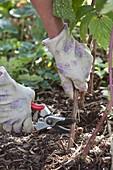 Abgeerntete Ruten von Himbeeren (Rubus idaeus) schneidet man bodennah ab