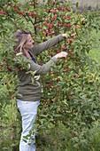 Frau schneidet Zweige von Zierapfel (Malus) für Straeusse und Gestecke