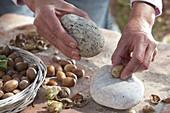 Frisch geerntete Haselnüsse (Corylus) Stein auf Stein knacken