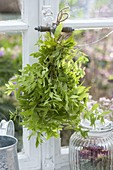 Zitronenverbene, Verveine (Aloysia triphylla) zum trocknen