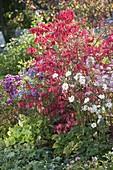 Herbstbeet : Euonymus alatus (Korkleisten - Spindelstrauch), Anemone