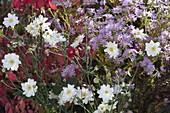 Anemone japonica 'Wirbelwind' (Herbstanemone) und Aster (Herbstaster)