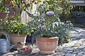 Blühende Artischocke (Cynara scolymus) neben Glockenchili