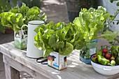 Salat in leeren Milchtueten ziehen