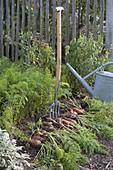 Möhren, Karotten (Daucus carota) im Biogarten mit Grabgabel ernten