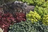 Steingarten mit Sedum tetractinum 'Dragon's Blood' , S.'Yellow Bouquet'