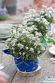 Ungewöhnliche Tischdeko mit Leontopodium nivale (Edelweiß)