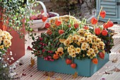Türkiser Kunststoff-Kasten mit Chrysanthemum Yahou 'Faro'