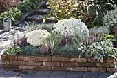 Backsteinbeet mit Chrysanthemum 'Kibul' (Herbschrysantheme), Festuca