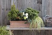 Winterhart bepflanzter Kasten mit Picea abies 'Will's Zwerg' (Zwerg-Fichte