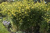 Helianthus microcephalus 'Lemon Queen' (Stauden-Sonnenblume)