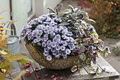 Aster dumosus 'Aqua-Compact' (Kissenaster), Salbei (Salvia purpurascens)