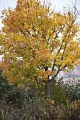 Acer platanoides (Ahorn) in Herbstfärbung